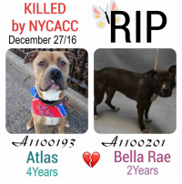 DeathrowDogs RIP🌹 NY DOGS adopt rescue foster SaveALife surrenders strays NoChance Killed Euthanized Senior Baby* Shameful InnocentVictims Heartbreaking NOKill December272016 37DEAD TheyMattered Pray4Change AsinineExcuses DidNotDeserveThis . THE REASONS THEY WERE KILLED BY NYCACC WERE ~ . • ATLAS - A1100193 - 4Years - STRAY - Manhattan - Adoptable - Quiet-Gentle-Happy. A very Affectionate Snuggler 💓😊 . • BELLA RAE - A1100201 - 2Years - NO REASON FOR SURRENDER - Brooklyn - RescueOnly - VERY Scared😰. Playful-Active-Curious-Friendly with Children 😊💓 . BOTH OF THESE DOGS WERE LISTED FOR JUST ONE NIGHT ONLY‼️💔 NO ONE CAME FORWARD TO HELP EITHER OF THEM 😢 . GOD BLESS THE INNOCENT VICTIMS 🙏🏻💓 . ▶️ CHANGE.ORG PETITION IN MY BIO FOR GOVERNOR OF NYC TO STOP THE KILLINGS ~ 🙏🏻PLEASE BE THEIR VOICES AND SIGN!!!: KILLED  RIP  by NYCACC  December 27/16  41  Atlas  Bella Rae  2 Years  Years DeathrowDogs RIP🌹 NY DOGS adopt rescue foster SaveALife surrenders strays NoChance Killed Euthanized Senior Baby* Shameful InnocentVictims Heartbreaking NOKill December272016 37DEAD TheyMattered Pray4Change AsinineExcuses DidNotDeserveThis . THE REASONS THEY WERE KILLED BY NYCACC WERE ~ . • ATLAS - A1100193 - 4Years - STRAY - Manhattan - Adoptable - Quiet-Gentle-Happy. A very Affectionate Snuggler 💓😊 . • BELLA RAE - A1100201 - 2Years - NO REASON FOR SURRENDER - Brooklyn - RescueOnly - VERY Scared😰. Playful-Active-Curious-Friendly with Children 😊💓 . BOTH OF THESE DOGS WERE LISTED FOR JUST ONE NIGHT ONLY‼️💔 NO ONE CAME FORWARD TO HELP EITHER OF THEM 😢 . GOD BLESS THE INNOCENT VICTIMS 🙏🏻💓 . ▶️ CHANGE.ORG PETITION IN MY BIO FOR GOVERNOR OF NYC TO STOP THE KILLINGS ~ 🙏🏻PLEASE BE THEIR VOICES AND SIGN!!!
