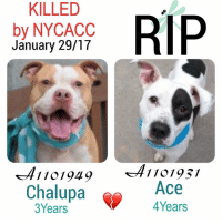 DeathrowDogs RIP🌹 NY DOGS adopt rescue foster SaveALife surrenders strays NoChance Killed Euthanized Senior Baby* Shameful InnocentVictims Heartbreaking NOKill January292017 44DEAD TheyMattered Pray4Change AsinineExcuses DidNotDeserveThis . REASONS THEY WERE KILLED BY NYCACC WERE ~ . • CHALUPA - A1101949 - 3YEARS - STRAY - Adoptable - Brooklyn - A Gentle-Playful- Friendly-Responsive & Excitable Young Boy 💔😢 . • ACE - A1101931 - 4YEARS - BITE - RescueOnly - Manhattan - A Tense & Scared Young Boy who had lived with Family since he was 7 WEEKS OLD😢. Playful and Excitable 😊💔😢 . BOTH OF THESE PUPS WERE LISTED FOR JUST ONE NIGHT ONLY‼️💔NO ONE CAME TO HELP THEM 😢💔 . GOD BLESS THE INNOCENT VICTIMS 🙏🏻💓 . ▶️ CHANGE.ORG PETITION IN MY BIO FOR GOVERNOR OF NYC TO STOP THE KILLINGS ~ 🙏🏻PLEASE BE THEIR VOICES AND SIGN!!!: KILLED  RIP  by NYCACC  January 29/17  1101949 1101931  Chalupa  Ace  Years DeathrowDogs RIP🌹 NY DOGS adopt rescue foster SaveALife surrenders strays NoChance Killed Euthanized Senior Baby* Shameful InnocentVictims Heartbreaking NOKill January292017 44DEAD TheyMattered Pray4Change AsinineExcuses DidNotDeserveThis . REASONS THEY WERE KILLED BY NYCACC WERE ~ . • CHALUPA - A1101949 - 3YEARS - STRAY - Adoptable - Brooklyn - A Gentle-Playful- Friendly-Responsive & Excitable Young Boy 💔😢 . • ACE - A1101931 - 4YEARS - BITE - RescueOnly - Manhattan - A Tense & Scared Young Boy who had lived with Family since he was 7 WEEKS OLD😢. Playful and Excitable 😊💔😢 . BOTH OF THESE PUPS WERE LISTED FOR JUST ONE NIGHT ONLY‼️💔NO ONE CAME TO HELP THEM 😢💔 . GOD BLESS THE INNOCENT VICTIMS 🙏🏻💓 . ▶️ CHANGE.ORG PETITION IN MY BIO FOR GOVERNOR OF NYC TO STOP THE KILLINGS ~ 🙏🏻PLEASE BE THEIR VOICES AND SIGN!!!