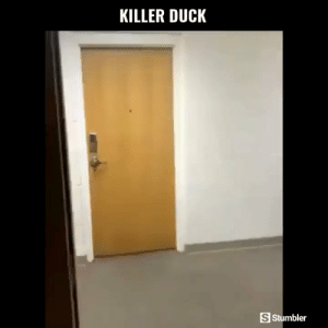 Funny, Memes, and Videos: KILLER DUCK  S Stumbler RT @StumblerFunny: For more funny videos follow @StumblerFunny or visit https://t.co/wXxwph26cH https://t.co/xi3NjIZwJw