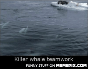 Sometimes you can't do it aloneomg-humor.tumblr.com: Killer whale teamwork  FUNNY STUFF ON MEMEPIX.COM Sometimes you can't do it aloneomg-humor.tumblr.com