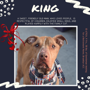 """Being Alone, Cats, and Children: KING  A SWEET, FRIENDLY OLD MAN, WHO LOVES PEOPLE, IS  RESPECTFUL OF CHILDREN, ENJOYED SMALL DOGS, AND  PLAYED HAPPILY WITH THE FAMILY CAT  ID 67924, 9 Yrs., 58 lbs.of Gentleman Waiting  for a Retirement Home, Brooklyn ACC TO BE KILLED 7/20/19  I love to play with my toys!  He's a friendly, sweet old man who is respectful of children, played happily with small dog friends, and loved the family cat. Dumped when his parent of 2 months said they could no longer care for him, KING desperately needs out of the shelter ASAP for an ultrasound and diagnostics! Please, won't you give this lovely gentleman a home so he can quickly get the care he needs? As a Staff Member Writes: """"King is a friendly old man who loves to play with his toys and follow his people around the house. He has some medical concerns that need more diagnostics than we are able to provide at the care center and it would be best if he could be seen by an outside vet ASAP!"""" Please hurry and message our page or email us at MustLoveDogsNYC@gmail.com to whisk this sweet boy to safety.  A volunteer writes:   This sweet senior may be looking for a retirement home, but he's not quite ready to slow down just yet! King is always up for a brisk walk, and loves a good game of tug or just chasing balls and Frisbees! He's a little social butterfly and seems to fall in love with everyone he meets (heck...he even made friends with the medial staff during his exam!). When I call him over, he gets all happy and excited - leaning into me as I scratch his back and thanking me with big, wet kisses! He was relaxed and respectful with children who visited in his previous home and was the same towards the cat he lived with. He's very gentle when taking treats too! King walks nicely on a leash; his former owner tells us he's housebroken (and he's kept up his good habits at the shelter); and knows the cue for """"sit"""". And when King looks up at me with that big, funny face...well, I just want to go ov"""
