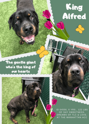 "Arthur, Bad, and Children: King  Alfred  The gentle giant  who's the king of  our hearts  ID 64556, 6 YRS., 122 LBS  OF SHY SWEETNESS,  DREAMS OF TLC & LOVE,  AT THE MANHATTAN ACC TO BE KILLED – 6/8/2019  If KING ALFRED is anything, he is the King of our hearts. This big, gentle giant has endeared us to him with his shyness that melts away at the sight of treats. And while he may initially be somewhat reserved with new people, it doesn't take long for him to decide that you are probably not so bad after all, and in fact, great! After he sizes you up and decides you are a friend, he licks your hands to get you to pet him, and pet him, and ""oh please, don't stop petting me"" nudges. He is so stoic and sweet despite his itchy skin issues that will need follow up care with a dermatologist. But even with his flakiness, he is truly a magnificent, big hearted, sweetheart who simply dreams of a family who will love him and give him the quiet, calm loving home he would thrive in. As a staff member writes: ""King Alfred certainly lives up to his title of King! This gentle giant would love to find a home with a throne-sized bed for him to lie on and watch the world go by. With a mellow attitude, an affinity for other dogs and good looks to match, King Arthur will be a fabulous addition any home. Can you offer that to King Arthur?."" We hope so. Because of his shyness and size, King Alfred needs to go to an experienced foster or adopter in an adult only home (no kids under Age 13). So hurry and Message our page or email us at MustLoveDogsNYC@gmail.com for assistance fostering or adopting this gentle giant.  MY MOVIE! King Alfred Loves Treats & Will Sit for Them! https://www.youtube.com/watch?v=aEcoVCVWeKA   KING ALFRED, ID# 64555, 6 Yrs. Old, 122 lbs, Unaltered Male Manhattan ACC, Rottweiller, Black/Brown I came to the shelter as a Stray, 6/1/2019 Shelter Assessment Rating: New Hope Rescue Only Behavior Condition: 2. Blue  AT RISK NOTE: King Alfred has remained fearful at the care center and has exhibited handling and touch sensitives. King Alfred would be best suited for placement with a new hope partner that provide the necessary behavior modification. Medically, King Alfred has a skin condition which may need further care.  INTAKE NOTE – DATE OF INTAKE, 6/1/2019: During intake King was okay at first with counselor, but when another staff member entered the room, he began hard barking and growling. Counselor did not feel safe handling, so person who brought the dog in scanned for a microchip and someone form the behavior dept came into the room to take King into a kennel. Behavioral staff said he was fine and gave them no problems.  SURRENDER NOTES – BASIC INFORMATION: King is a large mixed breed, who was brought in as a stray. His previous history and behaviors are unknown. King seemed unfriendly towards strangers. He was barking and growling at shelter staff. He has no known bite history. King has sores on his skin.   SHELTER ASSESSMENT SUMMARIES – DATE OF ASSESSMENT, 6/3/2019:  Leash Walking  Strength and pulling: None  Reactivity to humans: None  Reactivity to dogs: None  Leash walking comments: None   Sociability  Loose in room (15-20 seconds): Moderately social  Call over: Approaches with coaxing  Sociability comments: Sniffing room   Handling  Soft handling: Tolerates contact  Exuberant handling: Extremely fearful  Comments: Stands still at first. When leg is initially touched, quickly head flips and moves away. No further handling was conducted.   Arousal  Jog: Follows (loose)  Arousal comments: None   Knock: No response  Knock Comments: None   Toy: No response  Toy comments: None  PLAYGROUP NOTES – DOG TO DOG SUMMARIES: History around dogs is unknown due to arrival as a stray. At this time, King Alfred has demonstrated most compatibiltiy with other calm dogs. 6/3-6: When introduced off leash to dogs, King Alfred keeps to himself, does allow approach and sniffing.   INTAKE BEHAVIOR - Date of intake:: 6/1/2019 Summary:: initially okay but then started barking and growling at another person who entered the room  ENERGY LEVEL:: We have no history on King Alfred so we cannot be certain of his behavior in a home environment. At the care center, he displays a medium level of activity.  IN SHELTER OBSERVATIONS: King Alfred is initially somewhat reserved when meeting new people but opens up well with treats and time. With known people King Alfred allows handling and solicits petting by licking the hands of his handlers, and putting his head under their hands. He knows 'sit' and has shown himself to be highly treat motivated. On leash, King Alfred does not pull at all and walks either on the hip of the handler or slightly behind.   BEHAVIOR DETERMINATION:: New Hope Only Behavior Asilomar: TM - Treatable-Manageable  Recommendations:: No children (under 13),Place with a New Hope partner  Recommendations comments:: No children: Due to the reactivity and handling discomfort seen at the care center, we recommend an adult only home. Place with a New Hope partner: Due to the reactivity and handling discomfort seen at the care center, we recommend placement with a New Hope partner who can provide any necessary behavior modification (force-free, positive reinforcement-based) and re-evaluate behavior in a stable home environment before placement into a permanent home.  Potential challenges: : Handling/touch sensitivity,Fearful/potential for defensive aggression,On-leash reactivity/barrier frustration  Potential challenges comments:: Handling/touch sensitivity: During his assessment, King Alfred quickly head flipped and moved away when his leg was first touched. He appears uncomfortable with certain forms of handling. Please see handout on Handling/touch sensitivity. Fearful/potential for defensive aggression: At the care center, King Alfred has barked and growled at some handlers. Please see handout on Fearful/potential for defensive aggression. On-leash reactivity/barrier frustration: King Alfred is reported to be reactive to dogs and people at times. Please see handout on On-leash reactivity/barrier frustration.  MEDICAL EXAM NOTES  4/06/2019 [DVM Intake] DVM Intake Exam Estimated age:6y Microchip noted on Intake?n Microchip Number (If Applicable): History :o passed away Subjective: Observed Behavior -handled carefully due to history .quiet, no wagging. food motivated. tenses when examined but allowed all touch. Evidence of Cruelty seen -n Evidence of Trauma seen -n Objective T = P =60 R =wnl BCS 6/9 EENT: ou red sclera, heavy purulent dc ou, au hyperkeratosis, erythema Oral Exam:no exam H/L: NSR, NMA, Lungs clear, eupnic ABD: Non painful, no masses palpated U/G:2 testes MSI: Ambulatory x 4, scaly dermatitis and moth eaten coat, esp dorsal neck. scabs on ventral abdomen CNS: Mentation appropriate - no signs of neurologic abnormalities Assessment: conjunctivitis, otitis, pyoderma Prognosis:good Plan:tab ou bid x 10d, cleaned eyes and applied first dose applied oti-pack-e au during exam cephalexin 1000mg bid x 14d SURGERY: Permanent waiver due to skin  4/06/2019 [Spay/Neuter Waiver - Temporary] Your newly adopted pet has been diagnosed with Pyoderma and the staff veterinarians are issuing a TEMPORARY waiver from the spay/neuter requirements of the City of NY. Follow up care at your regular veterinarian is recommended to ensure continued treatment through to the resolution of the issue. At the time of a full recovery you may choose to have your veterinarian perform the spay/neuter surgery, or make provisions to return the pet to ACC for sterilization.  *** TO FOSTER OR ADOPT ***  KING ALFRED IS RESCUE ONLY. You must fill out applications with New Hope Rescues to foster or adopt him. He cannot be reserved online at the ACC ARL, nor can he be direct adopted at the shelter. PLEASE HURRY AND MESSAGE OUR PAGE FOR ASSISTANCE!  HOW TO RESERVE A ""TO BE KILLED"" DOG ONLINE (only for those who can get to the shelter IN PERSON to complete the adoption process, and only for the dogs on the list NOT marked New Hope Rescue Only). Follow our Step by Step directions below!   *PLEASE NOTE – YOU MUST USE A PC OR TABLET – PHONE RESERVES WILL NOT WORK! **   STEP 1: CLICK ON THIS RESERVE LINK: https://newhope.shelterbuddy.com/Animal/List  Step 2: Go to the red menu button on the top right corner, click register and fill in your info.   Step 3: Go to your email and verify account  \ Step 4: Go back to the website, click the menu button and view available dogs   Step 5: Scroll to the animal you are interested and click reserve   STEP 6 ( MOST IMPORTANT STEP ): GO TO THE MENU AGAIN AND VIEW YOUR CART. THE ANIMAL SHOULD NOW BE IN YOUR CART!  Step 7: Fill in your credit card info and complete transaction   HOW TO FOSTER OR ADOPT IF YOU *CANNOT* GET TO THE SHELTER IN PERSON, OR IF THE DOG IS NEW HOPE RESCUE ONLY!   You must live within 3 – 4 hours of NY, NJ, PA, CT, RI, DE, MD, MA, NH, VT, ME or Norther VA.   Please PM our page for assistance. You will need to fill out applications with a New Hope Rescue Partner to foster or adopt a dog on the To Be Killed list, including those labelled Rescue Only. Hurry please, time is short, and the Rescues need time to process the applications."