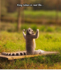 Life, King, and Real: King Julien in real life  ... hhehehe