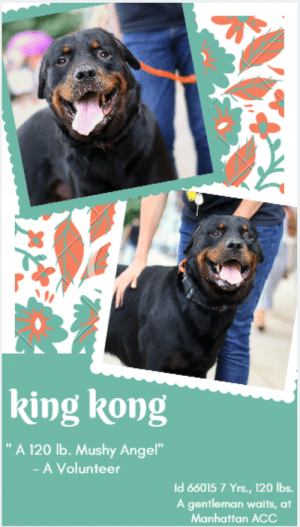 "Best Friend, Comfortable, and Dogs: king kong  A 120 lb. Mushy Angel""  -A Volunteer  Id 66015 7 Yrs., 120 lbs.  A gentleman waits, at  Manhattan ACc INTAKE DATE – 6/15/2019  <3 GENTLE GIANT ALERT! Who doesn't love a Rottie?   (crickets)  That's right.  Because they are simply magnificent dogs, with wonderful, affectionate personalities.  King Kong is no exception and in fact, is an ambassador for his breed.  He's a gentleman through and through.  Patient, kind, shyly sweet and with a gentle heart.  He's absolute perfection and he's waiting for a worthy family.  This big boy shouldn't have to wait a minute longer, languishing at the shelter when he should be lolling about on a cushy bed – like the king he is.  If you would like to be his loyal and devoted subject (hey, we're right there with you!) please Message our page or email us at MustLoveDogsNYC@gmail.com for assistance fostering or adopting King Kong.     Volunteer Misha Barbour Notes:  ""~ 120 pound, mushy angel ~ ""  A volunteer writes:  ""King Kong fits the definition of gentle giant! Although big and likely strong, he is a shy guy who licks hands, enjoys caresses and cruises on the leash. King Kong is calm in his kennel and comes right away when called. He is gorgeous, healthy, perfectly made and beautifully dressed. He does not pay attention to barking dogs and seems to find comfort in his caretaker. He just has a stump of a tail but he makes use of it when his head and back are being scratched. We do not know much about King Kong but it is clear that he likes human company! So, what are you waiting for? King Kong is dreaming to fall in love and is ready to be your for ever best friend! Come and meet him soon at the Manhattan Care Center!""  Volunteer Evelyne Cumps writes:  ""A well mannered gentleman i met at the MACC today, great walker, house trained likely (a marker too), a bit shy but quite comfortable once he gets to know you, nears other dogs properly, licks hands even without good smells on them, not too interested in treats or obeying orders or playing. May be a yard dog? Quite well groomed and healthy looking, great coat and great weight. Said to be a stray-118lbs, Level 3(shy). SEVEN year old.His name is KING KONG, 7 yo male Rottweiler... Where are the Rotties lovers???""  MY MOVIE: King Kong  https://youtu.be/7DDuFDzukU4  A gentle giant, King Kong  https://youtu.be/9sxfFaFPiYw  KING KONG, ID# 66015, 7 yrs old, 118 lbs, Unaltered Male Manhattan ACC, Large Mixed Breed, Black / Brown    Surrender Reason: Stray  Shelter Assessment Rating:  Medical Behavior Rating:  ***  TO FOSTER OR ADOPT  ***   If you would like to adopt a NYC ACC dog, and can get to the shelter in person to complete the adoption process, you can contact the shelter directly. We have provided the Brooklyn, Staten Island and Manhattan information below. Adoption hours at these facilities is Noon – 8:00 p.m. (6:30 on weekends)  If you CANNOT get to the shelter in person and you want to FOSTER OR ADOPT a NYC ACC Dog, you can PRIVATE MESSAGE our Must Love Dogs page for assistance. PLEASE NOTE: You MUST live in NY, NJ, PA, CT, RI, DE, MD, MA, NH, VT, ME or Northern VA. You will need to fill out applications with a New Hope Rescue Partner to foster or adopt a NYC ACC dog. Transport is available if you live within the prescribed range of states.  Shelter contact information: Phone number (212) 788-4000 Email adopt@nycacc.org  Shelter Addresses:  Brooklyn Shelter: 2336 Linden Boulevard Brooklyn, NY 11208  Manhattan Shelter: 326 East 110 St. New York, NY 10029  Staten Island Shelter: 3139 Veterans Road West Staten Island, NY 10309  *** NEW NYC ACC RATING SYSTEM ***  Level 1  Dogs with Level 1 determinations are suitable for the majority of homes. These dogs are not displaying concerning behaviors in shelter, and the owner surrender profile (where available) is positive.   Level 2   Dogs with Level 2 determinations will be suitable for adopters with some previous dog experience. They will have displayed behavior in the shelter (or have owner reported behavior) that requires some training, or is simply not suitable for an adopter with minimal experience.   Level 3  Dogs with Level 3 determinations will need to go to homes with experienced adopters, and the ACC strongly suggest that the adopter have prior experience with the challenges described and/or an understanding of the challenge and how to manage it safely in a home environment. In many cases, a trainer will be needed to manage and work on the behaviors safely in a home environment."