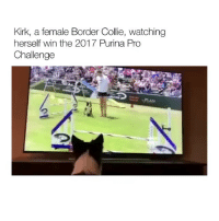 Memes, Congratulations, and Pro: Kirk, a female Border Colie, watching  herself win the 2017 Purina Pro  Challenge Congratulations, you just played yourself. Pup Kirk the Border
