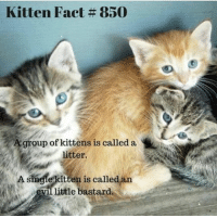 kitten: Kitten Fact 850  A group of kittens is called a  N  litter.  A single kitten is calle  little bastard