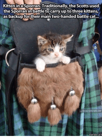kitten: Kitten in a Sporran. Traditionally the Scotts used  the Sporran in battle to carry up to three kittens,  as backup for their main two-handed battle cat...  IATHEMETAPICTURE COM  memes. COM