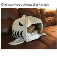 Memes, Shark, and Sharks: Kitten survives a vicious shark attack -CBC clean cleanfunny cleanhilarious cleanposts cleanpictures cleanaccount funny funnyaccount funnypictures funnyposts funnyclean funnyhilarious lol lolz hehe