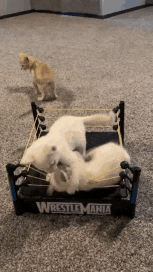 Kittens And A $2 WrestleMania, Thrift Store Find: Kittens And A $2 WrestleMania, Thrift Store Find