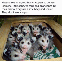 Memes, Kittens, and Siamese: Kittens free to a good home. Appear to be part  Siamese. I think they're feral and abandoned by  their mama. They are a little bitey and scared.  They don't seem to purr For more cute pics LIKE us at The Purrfect Feline Page