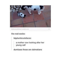 Memes, Tumblr, and Penguin: kittlozandtiltiez tumblr com  the real seebs:  bigdumbcutefaces:  a mother cow looking after her  young calf  dumbass those are dalmatians Dumbass that's clearly a penguin and his spotted toad side kick -C