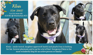 "Beautiful, Beef, and Cats: Klein  TD# 26617  1 yr & 6 mos old,  62.8 lbs@ Manhattan ACC  Klein smile tested, laughter approved! Joyful and playful boy is looking  for his forever playmate and is up for a lot of fun! Gorgeous Klein is the  most wonderful dog for an active person or family! TO BE KILLED - 6/8/2019   ADDED LATER IN THE EVENING :(  Klein is a bubbly black beauty looking for a forever home!  <3 Gorgeous Klein (fka. Shine) was adopted as a puppy and returned to the shelter now due to the owner's landlord not approving of his size. Klein is a smart, beautiful lab mix, playful, entertaining and full of joy ~ and ready to go on any adventure with you! ** A Volunteer writes: Play time is ON! There's not a sport at which this gorgeous boy doesn't excel, given the limited number of sports we were able to play with him. Enthusiastically fetching and dropping tennis balls at our feet, without even asking? Check. Playing with a rope toy, all by himself, with pure delight? Check. Squeaky toys--pure joy. This gorgeous dog is looking for a forever playmate and is up for so much fun! He could use some leash training--easy peazy--but this is the most wonderful dog for an active person or family! He amuses his people, he amuses himself, and he is just looking for a home to show off his tricks and love.  Volunteer Misha Barbour writes: If you're wondering whether your pup is any mixture of Lab, the best thing would be to do a detailed DNA test like Wisdom Panel or Embark, or find a really gross, brown puddle. 🐠 Klein, 1, smile tested, laughter approved. At Manhattan ACC.  MY VIDEO: Klein fka. Shine <3  https://youtu.be/mIhAbEs1Vpc  KLEIN fka. SHINE, ID# 26617, 1 yr and 6 mos old, xx lbs, Manhattan Animal Care Center, Large Mixed Breed Cross, Black / White Neutered Male,  Return 5 days after adoption (was adopted 04/26/19) Owner Surrender Reason: landlord wanted Klein to leave due to his size (too big) :( Shelter Assessment Rating: LEVEL 2 No young children (under 5) Single-pet home Recommend no dog parks Medical Behavior Rating: Blue  OWNER SURRENDER NOTES - BASIC INFORMATION: Klein is an approximately 1.5yr old neutered male large mixed breed dog who was brought to MACC as a return due to the owner's landlord not approving of his size. He previously lived with 1 adult. Klein is describes as wanting to play and jumpy with new people who entered the home. He has not spent time with children. The one time Klein saw another dog in the street, he broke his leash in a lunging attempt to get near the dog. He then jumped on the dog, but owner is unsure if in a playful way or what, though no growling or biting was observed. Klein has not spent time with cats. No resource guarding was noted. Klein has no known bite history. Klein is housetrained and his previous owner describes Klein´s energy level as high.   Medical Notes right eye red, mucus present  For a New Family to Know Klein is affectionate toward his owner and will follow him around the home Owner notes that Klein sleeps next to him and only eats when he is near him. Owner has been cooking ground beef with vegetables for him and fed him that several times a day, more than 3 times Klein has especially high energy when he wakes up in the morning, wanting to play. He loves to play catch with a ball Klein does not bark much or even at all, except for when he sees another dog. Klein gets startled when he hears a sudden loud noise and backed away when owner once dropped a pan. Klein pulls hard on his leash and will start running, choking himself in the process. He was walked more than 3 times a day and runs with owner at night  Klein does not destroy any items in the home.  During a bath, Klein didn't stay still at first, but after a little time, he did and was able to be bathed no problem Klein knows the command sit  BEHAVIOR NOTES   Means of surrender (length of time in previous home): Owner surrender (In home for 4 days) Previously lived with: An adult Behavior toward strangers: Playful, will jump up Behavior toward children: Friendly and playful Behavior toward dogs: Lunges at them. Broke the leash and jumped on a dog Behavior toward cats: Unknown Resource guarding: None reported Bite history: None reported Housetrained: Yes Energy level/descriptors: The owners describes Klein as friendly, affectionate and playful with a very high activity level in the household.  SHELTER ASSESSMENT SUMMARIES - Date of assessment: 8-Apr-2019  Summary:  Leash Walking Strength and pulling: Hard Reactivity to humans: None Reactivity to dogs: None Leash walking comments: None  Sociability Loose in room (15-20 seconds): Distracted, does not approach Call over: Approaches with coaxing Sociability comments: Body soft, sniffing room, jumps up when approaches  Handling  Soft handling: Seeks contact Exuberant handling: Seeks contact Comments: Body soft, leans into pets, jumps up  Arousal Jog: Engages in play (exuberant) Arousal comments: Jumps up, grabs leash in mouth  Knock: Approaches (exuberant) Knock Comments: Jumps up, grabs leash  Toy: Grips, firm Toy comments: Body soft   PLAYGROUP NOTES - DOG TO DOG SUMMARIES  May 2019:  During Klein's previous stay in the care center, he was observed to display some interest in socializing with other dogs. Most recently he has displayed increasing discomfort and reactivity toward other dogs. For this reason, a single dog residence is recommended.  4/7: When Klein greets a female helper dog at the gate, he is stiff and bares teeth. An off leash greeting is not yet conducted.  INTAKE BEHAVIOR - Date of intake: 1-May-2019 Summary: Relaxed, playful  MEDICAL BEHAVIOR - Date of initial: 1-May-2019 Summary: Social, allowed handling  ENERGY LEVEL: Klein is described as having a very high level of activity. He is a young, enthusiastic, social dog who will need daily mental and physical activity to keep him engaged and exercised. We recommend long-lasting chews, food puzzles, and hide-and-seek games, in additional to physical exercise, to positively direct his energy and enthusiasm.   BEHAVIOR DETERMINATION: Level 2 Behavior Asilomar H - Healthy  Recommendations:  No young children (under 5) Single-pet home Recommend no dog parks  Recommendations comments:  No young children: Due to the high level of jumping up seen at the care center, we recommend a home without young children. Older children who are comfortable around large, jumpy dogs should have an in-depth interaction prior to adoption.   Single dog/no dog parks: See DOG-DOG.   Potential challenges:  Basic manners/poor impulse control On-leash reactivity/barrier frustration Leash-biting  Potential challenges comments:  Basic manners/poor impulse control: Klein jumps up a lot on people in a social manner. Please see handout on Basic Manners.  Leash-biting: Shine is quick to grab the leash in his mouth. Please see handout on Leash Manners.  On-leash reactivity/barrier frustration: Klein has been observed to react to dogs on leash while at the care center, lunging towards them, barking, and growling. Please see handout on On-leash reactivity/barrier frustration.  MEDICAL EXAM NOTES   1-May-2019  DVM Intake Exam Estimated age: 1-2y Microchip noted on Intake? Microchip Number (If Applicable): History : returned after adoption Subjective: BAR Observed Behavior -approaches with wagging tail, allowed all handling Evidence of Cruelty seen -no Evidence of Trauma seen -no Objective  T = P =80 R =wnl BCS bcs 5/9 EENT: Eyes clear, ears clean, no nasal or ocular discharge noted Oral Exam:mild tartar PLN: No enlargements noted H/L: NSR, NMA, Lungs clear, eupnic ABD: Non painful, no masses palpated U/G: male neutered MSI: Ambulatory x 4, skin free of parasites, no masses noted, 1cm round crusted raised mass, slightly irregular CNS: Mentation appropriate - no signs of neurologic abnormalities Rectal: normal external Assessment: mass on muzzle Prognosis: good Plan: recommend aspiration under sedation or removal and histopath SURGERY: Okay for surgery   -------------------------------------------------  NOTES SECOND STAY / Intake:  04-07-2019  I was adopted as a puppy and have been returned now :(   KLEIN fka. SHINE, ID# 26617, 1 yr and 6 mos old, 62.8 lbs, Manhattan Animal Care Center, Large Mixed Breed Cross, Black / White Neutered Male,  Return  Owner Surrender Reason:  Shelter Assessment Rating: LEVEL 2 No young children (under 5) Single-pet home Recommend no dog parks Medical Behavior Rating: Blue  BEHAVIOR NOTES   SHELTER ASSESSMENT SUMMARIES - Date of assessment: 8-Apr-2019  Summary:  Leash Walking Strength and pulling: Hard Reactivity to humans: None Reactivity to dogs: None Leash walking comments: None  Sociability Loose in room (15-20 seconds): Distracted, does not approach Call over: Approaches with coaxing Sociability comments: Body soft, sniffing room, jumps up when approaches  Handling  Soft handling: Seeks contact Exuberant handling: Seeks contact Comments: Body soft, leans into pets, jumps up  Arousal Jog: Engages in play (exuberant) Arousal comments: Jumps up, grabs leash in mouth  Knock: Approaches (exuberant) Knock Comments: Jumps up, grabs leash  Toy: Grips, firm Toy comments: Body soft   PLAYGROUP NOTES - DOG TO DOG SUMMARIES:: During Klein's previous stay in the care center, he was observed to display some interest in socializing with other dogs. Most recently he has displayed increasing discomfort and reactivity toward other dogs. For this reason, a single dog residence is recommended.  4/7: When Klein greets a female helper dog at the gate, he is stiff and bares teeth. An off leash greeting is not yet conducted.  Previous stay, May 2018:  5/1: When off leash at the Care Centers, Klein is social with the novel female greeter. He regularly checks in with her, offering her muzzle sniff.  5/2: Today, Klein was energetic and pushy with his muzzle greets. He bounces a few times before pacing the yard.   5/3: Klein engages in brief rough play with another dog. He uses his muzzle to solicit attention, and attempts to mount when the female dog is occupied with the smells in the yard.   ENERGY LEVEL: Klein is described as having a very high level of activity. He is a young, enthusiastic, social dog who will need daily mental and physical activity to keep him engaged and exercised. We recommend long-lasting chews, food puzzles, and hide-and-seek games, in additional to physical exercise, to positively direct his energy and enthusiasm.   BEHAVIOR DETERMINATION: Level 2 Behavior Asilomar H - Healthy  Recommendations:  No young children (under 5) Single-pet home Recommend no dog parks  Recommendations comments:  No young children: Due to the high level of jumping up seen at the care center, we recommend a home without young children. Older children who are comfortable around large, jumpy dogs should have an in-depth interaction prior to adoption.   Single dog/no dog parks: See DOG-DOG.   Potential challenges:  Basic manners/poor impulse control On-leash reactivity/barrier frustration Leash-biting  Potential challenges comments:  Basic manners/poor impulse control: Klein jumps up a lot on people in a social manner. Please see handout on Basic Manners.  Leash-biting: Shine is quick to grab the leash in his mouth. Please see handout on Leash Manners.  On-leash reactivity/barrier frustration: Klein has been observed to react to dogs on leash while at the care center, lunging towards them, barking, and growling. Please see handout on On-leash reactivity/barrier frustration.  MEDICAL EXAM NOTES  15-Apr-2019  Progress Exam HX: volunteer noticed superficial nodule (3/4 cm diameter) on the left side of the muzzle woods lamp negative A)r/o histiocytoma will self resolve in 2-3 mths  9-Apr-2019  Progress Exam Grooming done on 4/9/19  8-Apr-2019  DVM Intake Exam Estimated age:1.5y History :return acc 1 year Subjective: Observed Behavior -wary of examiner, ears back, some tail wagging. muzzled as precaution Evidence of Cruelty seen -n Evidence of Trauma seen -n Objective  T = P =60 R =wnl BCS 5/9 EENT: Eyes clear, ears clean, no nasal or ocular discharge noted Oral Exam:clean adult teeth PLN: No enlargements noted H/L: NSR, NMA, Lungs clear, eupnic ABD: Non painful, no masses palpated U/G:neutered male MSI: Ambulatory x 4, skin free of parasites, no masses noted, healthy hair coat CNS: Mentation appropriate - no signs of neurologic abnormalities Assessment: healthy Prognosis:good Plan:no treatment   -------------------------------------------------  NOTES FIRST STAY / April 2018   SHINE, ID# 26617, 7 mos old, xx lbs, Manhattan Animal Care Center, Large Mixed Breed Cross, Black / White Neutered Male,  Return  Owner Surrender Reason:  Shelter Assessment Rating:  Medical Behavior Rating:   BEHAVIOR NOTES   Means of surrender (length of time in previous home): Owner surrender(since puppy-hood) Previously lived with: 2 adults and 3 children Behavior toward strangers: Shy at first, warms up after a few minutes and becomes friendly. Behavior toward children: Friendly and playful Behavior toward dogs: Relaxed and playful Behavior toward cats: Unknown Resource guarding: None reported Bite history: None reported Housetrained: Yes Energy level/descriptors: The owners describes Klein as friendly, affectionate and playful with a very high activity level in the household.  Other Notes: Behavior information is from the home he was in during his previous stay at the care center one year ago.  PLAYGROUP NOTES - DOG TO DOG SUMMARIES  May 2018:  5/1: When off leash at the Care Centers, Klein is social with the novel female greeter. He regularly checks in with her, offering her muzzle sniff.  5/2: Today, Klein was energetic and pushy with his muzzle greets. He bounces a few times before pacing the yard.   5/3: Klein engages in brief rough play with another dog. He uses his muzzle to solicit attention, and attempts to mount when the female dog is occupied with the smells in the yard.   MEDICAL EXAM NOTES / April 2018  30-Apr-2018  DVM Intake Exam Estimated age: 7 months Microchip noted on Intake? yes Microchip Number (If Applicable):  History : owner surrender Subjective: Observed Behavior - friendly, affectionate Evidence of Cruelty seen - no Evidence of Trauma seen - no Objective  P = 120bpm R = wnl BCS 5/9 EENT: Eyes clear, ears clean, no nasal or ocular discharge noted Oral Exam: no dental tartar PLN: No enlargements noted H/L: NSR, NMA, CRT < 2, Lungs clear, eupnic ABD: Non painful, no masses palpated U/G: neutered male, no discharge MSI: Ambulatory x 4, skin free of parasites, no masses noted, healthy hair coat CNS: Mentation appropriate - no signs of neurologic abnormalities Rectal: normal externally Assessment healthy Prognosis: good Plan: no tx needed  *** TO FOSTER OR ADOPT ***  HOW TO RESERVE A ""TO BE KILLED"" DOG ONLINE (only for those who can get to the shelter IN PERSON to complete the adoption process, and only for the dogs on the list NOT marked New Hope Rescue Only). Follow our Step by Step directions below!   *PLEASE NOTE – YOU MUST USE A PC OR TABLET – PHONE RESERVES WILL NOT WORK! **   STEP 1: CLICK ON THIS RESERVE LINK: https://newhope.shelterbuddy.com/Animal/List  Step 2: Go to the red menu button on the top right corner, click register and fill in your info.   Step 3: Go to your email and verify account  \ Step 4: Go back to the website, click the menu button and view available dogs   Step 5: Scroll to the animal you are interested and click reserve   STEP 6 ( MOST IMPORTANT STEP ): GO TO THE MENU AGAIN AND VIEW YOUR CART. THE ANIMAL SHOULD NOW BE IN YOUR CART!  Step 7: Fill in your credit card info and complete transaction   HOW TO FOSTER OR ADOPT IF YOU *CANNOT* GET TO THE SHELTER IN PERSON, OR IF THE DOG IS NEW HOPE RESCUE ONLY!   You must live within 3 – 4 hours of NY, NJ, PA, CT, RI, DE, MD, MA, NH, VT, ME or Norther VA.   Please PM our page for assistance. You will need to fill out applications with a New Hope Rescue Partner to foster or adopt a dog on the To Be Killed list, including those labelled Rescue Only. Hurry please, time is short, and the Rescues need time to process the applications.  Shelter contact information Phone number (212) 788-4000  Email adoption@nycacc.org  Shelter Addresses: Brooklyn Shelter: 2336 Linden Boulevard Brooklyn, NY 11208 Manhattan Shelter: 326 East 110 St. New York, NY 10029 Staten Island Shelter: 3139 Veterans Road West Staten Island, NY 10309 -------------------------------------------------  * NEW NYC ACC RATING SYSTEM *  Level 1 Dogs with Level 1 determinations are suitable for the majority of homes. These dogs are not displaying concerning behaviors in shelter, and the owner surrender profile (where available) is positive. Some dogs with Level 1 determinations may still have potential challenges, but these are challenges that the behavior team believe can be handled by the majority of adopters. The potential challenges could include no young children, prefers to be the only dog, no dog parks, no cats, kennel presence, basic manners, low level fear and mild anxiety.   Level 2  Dogs with Level 2 determinations will be suitable for adopters with some previous dog experience. They will have displayed behavior in the shelter (or have owner reported behavior) that requires some training, or is simply not suitable for an adopter with minimal experience. Dogs with a Level 2 determination may have multiple potential challenges and these may be presenting at differing levels of intensity, so careful consideration of the behavior notes will be required for counselling. Potential challenges at Level 2 include no young children, single pet home, resource guarding, on-leash reactivity, mouthiness, fear with potential for escalation, impulse control/arousal, anxiety and separation anxiety.   Level 3 Dogs with Level 3 determinations will need to go to homes with experienced adopters, and the ACC strongly suggest that the adopter have prior experience with the challenges described and/or an understanding of the challenge and how to manage it safely in a home environment. In many cases, a trainer will be needed to manage and work on the behaviors safely in a home environment. It is likely that every dog with a Level 3 determination will have a behavior modification or training plan available to them from the behavior department that will go home with the adopters and be made available to the New Hope Partners for their fosters and adopters. Some of the challenges seen at Level 3 are also seen at Level 1 and Level 2, but when seen alongside a Level 3 determination can be assumed to be more severe. The potential challenges for Level 3 determinations include adult only home (no children under the age of 13), single pet home, resource guarding, on-leash reactivity with potential for redirection, mouthiness with pressure, potential escalation to threatening behavior, impulse control, arousal, anxiety, separation anxiety, bite history (human), bite history (dog) and bite history (other)."