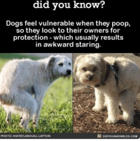 Always stare back 💩👀 funny dogs poop ➡📱Download our free App: [LINK IN BIO]: know?  did you know?  Dogs feel vulnerable when they poop,  so they look to their owners for  protection which usually results  in awkward staring.  DIDYoukNowBLOG.coM  PHOTO: IHATEFLASH/JILL LAYTON Always stare back 💩👀 funny dogs poop ➡📱Download our free App: [LINK IN BIO]