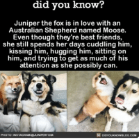 If Juniper the Fox can find love with a dog there's hope for all of us. ❤️😍 dogs foxes love bff ➡📱Download our free App: http:-apple.co-2i9iX0u: know?  did you know?  Juniper the fox is in love with an  Australian Shepherd named Moose.  Even though they're best friends,  she still spends her days cuddling him,  kissing him, hugging him, sitting on  him, and trying to get as much of his  attention as she possibly can  DIDYOUKNOwBLOG.coM  PHOTO: INSTAGRAMIEJUNIPERFOX If Juniper the Fox can find love with a dog there's hope for all of us. ❤️😍 dogs foxes love bff ➡📱Download our free App: http:-apple.co-2i9iX0u