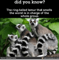 Animals, Funny, and Memes: know?  did you know?  The lemur that smells  the worst is in charge of the  whole group.  DIDYouKNowBLOG.coM  PHOTO: CINCINATTIZOO So I *dont* have to shower to be cool? 😷 animals funny squad smelly ➡📱Download our free App: [LINK IN BIO]
