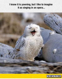 """<p><a href=""""http://laughoutloud-club.tumblr.com/post/155030645128/tenor-owl"""" class=""""tumblr_blog"""">laughoutloud-club</a>:</p>  <blockquote><p>Tenor Owl</p></blockquote>: know it is yawning, but I like to imagine  it as singing in an opera...  THE META PICTURE <p><a href=""""http://laughoutloud-club.tumblr.com/post/155030645128/tenor-owl"""" class=""""tumblr_blog"""">laughoutloud-club</a>:</p>  <blockquote><p>Tenor Owl</p></blockquote>"""