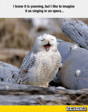 laughoutloud-club:  Tenor Owl: know it is yawning, but I like to imagine  it as singing in an opera...  THE META PICTURE laughoutloud-club:  Tenor Owl