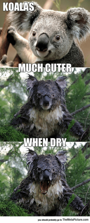 srsfunny:Water Can Dramatically Change A Koala: KOALAS  MUCH GUTER  WHEN DR  you should probably go to TheMetaPicture.com srsfunny:Water Can Dramatically Change A Koala
