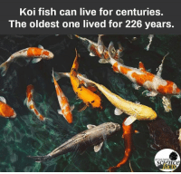 Facts, Memes, and Fish: Koi fish can live for centuries.  The oldest one lived for 226 years.  ac  CIS Please like the page for unlimited Amazing Science Facts
