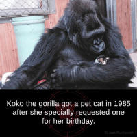 Petting Cat: Koko the gorilla got a pet cat in 1985  after she specially requested one  for her birthday.  com/facts  Weird