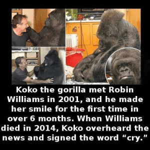 """News, Robin Williams, and Smile: Koko the gorilla met Robin  Williams in 2001, and he made  her smile for the first time in  over 6 months. When Williams  died in 2014, Koko overheard the  news and signed the word """"cry."""" Sad and wholesome at the same time"""