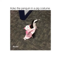 Memes, The Penguin, and Good Morning: Koko the penguin in a pig costume  @cuter good morning (@cuter)