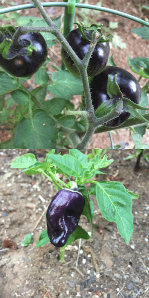 Being Alone, Tumblr, and Blog: kramergate:  kramergate:  kramergate: pics from my goth garden leave him alone he's a growing bell pepper… he's trying   im going nuts why do you guys not believe me about stuff i planted and tended in my own garden sdkjghdkfjgh its a purple holland bell pepper and its still unripe and tiny