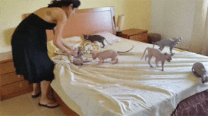 Cats, Tumblr, and Blog: kropotkitten: felweed: goblin swarm cats are the truest anarchists. when you are trying to make your bed, to impress who?, they turn it into playtime to remind you of how easy pleasure is to be had together