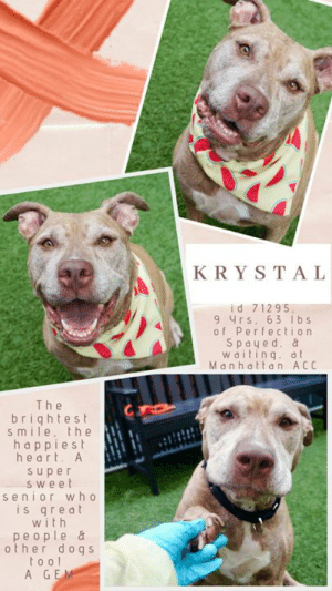 """INTAKE DATE – 8/3/2019  A warm, loving, super sweet senior with the brightest, happiest smile and biggest heart is dreaming of a new family who will love her in her golden years.  An absolute GEM of a dog!  <3   A volunteer writes:  """"We have our own """"Laughing Cow"""" at the Manhattan Care Center! Krystal is her name, ready to be your loving and loyal best friend for ever. She has the best engaging smile, a tail that could be called a fan, and the brightest and happiest eyes. She might have been a bit shaken up upon arrival, but she very much made up for it as she is now quite a pleasant dog to be with. She is a fantastic walker, a perfect sitter and a paw shaker! Let's not forget that she loves to give and receive kisses. I think that once in a home, she will heartily play ball which she started to do with us at the care center. Krystal is best friend material, sure to make a new owner happy to have given her a home. Krystal is at the Manhattan Care Center, dreaming to be yours.""""  Volunteer Evelyne Cumps writes:  """"KRYSTAL:71295, 9 year old, spayed, OS, Level2 (she was scared when she came in but it is all forgotten). She has a wonderful smile, loves company, is fine with other dogs and loves to play ball.  A great walker and likely HT. She is presently in iso for a few days now. Always a pleasure to be with her, the minutes pass unfortunately too fast... She is great company and has a wonderful OS profile!""""  If you can give this amazing girl a loving retirement home, please do not wait.  Message our page or email us at MustLoveDogsNYC@gmail.com for assistance saving her life.  MY MOVIES: Sweet and lively Krystal  https://youtu.be/RsSEKAWOllM   Krystal likes to have fun  https://youtu.be/x0FKN385TCQ  Krystal is a friendly and playful gal  https://youtu.be/2DyfVk_38MA  Krystal and Max Webster in Playgroup  https://youtu.be/XX8qZxyULho  Aladdin and Krystal in Playgroup  https://youtu.be/SDo2pAhtDdo  KRYSTAL, ID# 71295, 9 yrs old, 63 lbs, Spayed Female Manhattan ACC, Large"""
