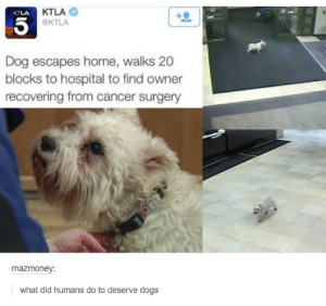 Dogs, Omg, and Tumblr: KTLA  @KTLA  KTLA  Dog escapes home, walks 20  blocks to hospital to find owner  recovering from cancer surgery  mazmoney:  what did humans do to deserve dogs Dogomg-humor.tumblr.com