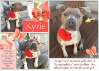 "**** TO BE KILLED - 5/1/2018 ****  Cuddly, snuggly, little ""jumping bean"" Kryie is simply darling. <3 The volunteers call her Angel Face. KYRIE's such a tiny little sprite, barely 35 lbs and absolutely adorable. She is full of life, loves to play and adores treats. She is thin, so in need of extra TLC and some good wholesome meals, but this precious girl is ready to join your perfect family. At her size, we are sure someone out there could find a place for her in their home or apartment. If you can foster or adopt KYRIE, please PRIVATE MESSAGE our page or email us at MustLoveDogsNYC@gmail.com.   Could she be more adorable? Watch her here, snuggling with volunteer Rachel Bennett: https://www.youtube.com/watch?v=qi-BA9fCaIU: Kyrie  ID 25654  2 Yrs. Old  35 lbs. of Joy,  Spayed  Dreaming of  Happy Ever  After  Brooklyn Acc  ""Angel Face says one volunteer, a  Jumping Bean' says another An  affectionate, extremely sweet girl **** TO BE KILLED - 5/1/2018 ****  Cuddly, snuggly, little ""jumping bean"" Kryie is simply darling. <3 The volunteers call her Angel Face. KYRIE's such a tiny little sprite, barely 35 lbs and absolutely adorable. She is full of life, loves to play and adores treats. She is thin, so in need of extra TLC and some good wholesome meals, but this precious girl is ready to join your perfect family. At her size, we are sure someone out there could find a place for her in their home or apartment. If you can foster or adopt KYRIE, please PRIVATE MESSAGE our page or email us at MustLoveDogsNYC@gmail.com.   Could she be more adorable? Watch her here, snuggling with volunteer Rachel Bennett: https://www.youtube.com/watch?v=qi-BA9fCaIU"