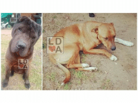 """***UPDATE - These two are now home safe***  LOST DOGS Ingle Farm #Adelaide 26/8/18 """"Buster and Max"""" Black Sharpei X Staffy, brown Staffy X.  0402 280 429 https://www.facebook.com/lynette.poole.75: L D  LD ***UPDATE - These two are now home safe***  LOST DOGS Ingle Farm #Adelaide 26/8/18 """"Buster and Max"""" Black Sharpei X Staffy, brown Staffy X.  0402 280 429 https://www.facebook.com/lynette.poole.75"""