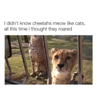 Cats, Time, and Girl Memes: l didn't know cheetahs meow like cats,  all this time i thought they roared shocker