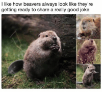 Good, How, and Beavers: l like how beavers always look like they're  getting ready to share a really good joke