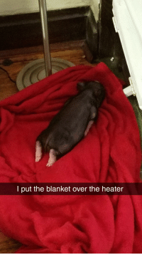 Piggy, Flop, and  Blanket: l put the blanket over the heater Piggy does a flop