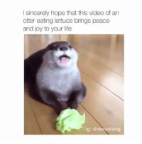Otter Meme: l sincerely hope that this video of an  otter eating lettuce brings peace  and joy to your life  g: @sexual sing