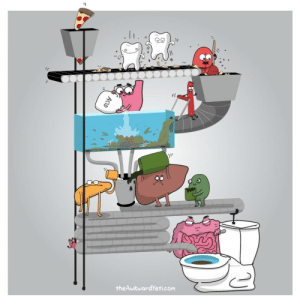 Books, Doctor, and Tumblr: l-  theAwkwardYeti.com asapscience:  mymedlife:  larstheyeti:  Digestive system diagram (most accurate ever, throw away your anatomy books)  I am a doctor and can say that yes this is accurate.    ^^^^^^