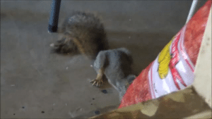 """labelleizzy: autisticholtzie:  spacespectrum:  spacespectrum:  my armenian father getting angry at a squirrel  my dad is famous  """"You bastard, what are you doing over there?"""" *camera zooms in* """"You are STEALING my nuts. Hey. Hey!"""" *becoming more strident* """"Are you listening to me?!"""" *taps on wall, causing squirrel to startle* """"You. Are. A. Little. Thief.""""  *cackling* : labelleizzy: autisticholtzie:  spacespectrum:  spacespectrum:  my armenian father getting angry at a squirrel  my dad is famous  """"You bastard, what are you doing over there?"""" *camera zooms in* """"You are STEALING my nuts. Hey. Hey!"""" *becoming more strident* """"Are you listening to me?!"""" *taps on wall, causing squirrel to startle* """"You. Are. A. Little. Thief.""""  *cackling*"""