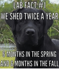 Fall, Memes, and Spring: LABFACT  WE SHED TWICE A YEAR  6 MONTHS IN THE SPRING  AND 6 MONTHS IN THE FALL 😂💕🤣