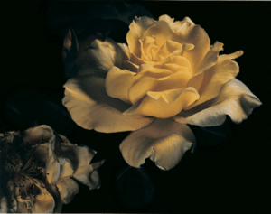 Tumblr, Blog, and Http: labotanique: David Sims | Roses | Visionare Magazine n.40 | Spring 2003