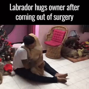 Animals, Dogs, and Puppies: Labrador hugs owner after  coming out of surgery #dogs #doglovers #puppy #puppies #animals #animallovers #petslife #cutestanimals #animallove #animalslife #cuteanimals #animalsworld #animalsforever #animalsouls #petsforlife #lovelyanimalsworld