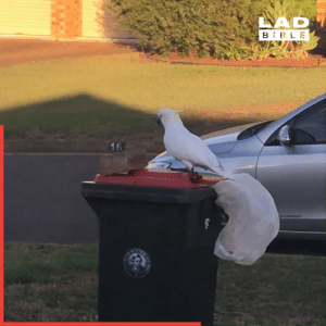You can never outsmart a cockatoo 😂  Secure-A-Lid: LAD  B BLE  16 You can never outsmart a cockatoo 😂  Secure-A-Lid