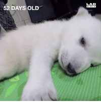 Dank, Life, and Aquarium: LAD  BIBL E  52 DAYS OLD The first 83 days of a young polar bear cub's life 😍  Columbus Zoo and Aquarium