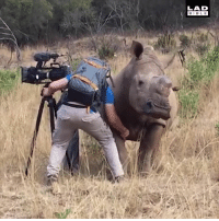 'I was out filming and this wild rhino came in for a belly rub' 🦏❤️: LAD  BIBL E 'I was out filming and this wild rhino came in for a belly rub' 🦏❤️