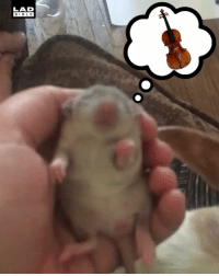 Memes, Videos, and Best: LAD  BIBL E Just a baby rat dreaming of playing the violin... Follow @Pretty52 for the best memes and viral videos going.