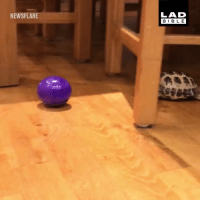 Memes, 🤖, and Dog: LAD  BIBL E  NEWSFLARE Why does my tortoise think it's a dog? 😂😂