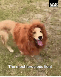 Dank, Lion, and Lion King: LAD  BIBL E  The most ferocious lion! There's a new Lion King in town! 🦁👑
