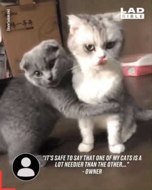 """Desperately trying to make up after an argument like... 🐱: LAD  BIBLE  陳一手开  """"IT'S SAFE TO SAY THAT ONE OF MY CATS IS A  LOT NEEDIER THAN THE OTHER...""""  OWNER  [NEWSFLARE] Desperately trying to make up after an argument like... 🐱"""