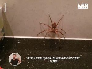 "Dank, My House, and Spider: LAD  BIBLE  ""ALFRED IS OUR FRIENDLY NEIGHBOURHOOD SPIDER""  -FILMER  [VIRALHOG] I don't care what this guy says, I would NEVER keep a Huntsman spider in my house 😳🕷️"