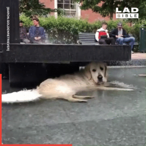 Dogs have many different ways to cool themselves down... 🐶💦: LAD  BIBLE  [BARON.GOLDENRETRIEVER] Dogs have many different ways to cool themselves down... 🐶💦
